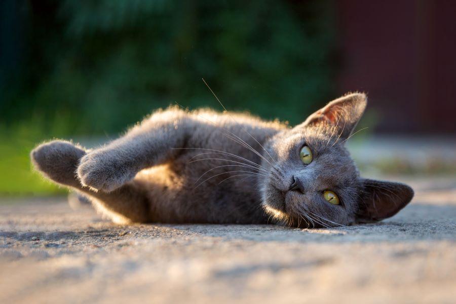 Terapia allo iodio 131 per la cura del tumore alla tiroide nei gatti, meglio conosciuto come ipertiroidismo felino